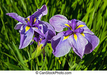 Purple Siberian Irises in Bloom Closeup