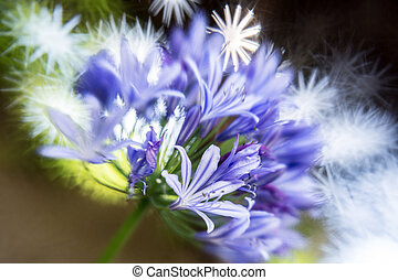 Purple Siberian squill (Scilla sibirica) of the lily family - a purple spring-flowering bulb