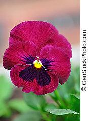 Purple single pansy in a garden