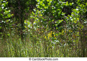 Smooth Crabgrass - Purple Smooth Crabgrass flower on the...