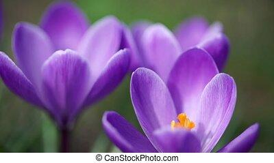 Purple snowdrop macro shot. Slow motion. - Beauty purple...