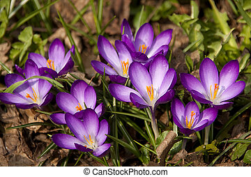 purple spring crocus flowers - purple Dutch spring crocus...