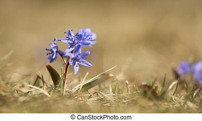 Purple spring flower of scilla bifolia closeup