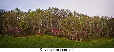 Purple Springtime Bloom, Smoky Mnts - Purple blooms line a...