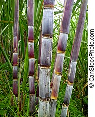 Purple sugar cane