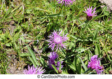 Purple summerflowers on a meadow