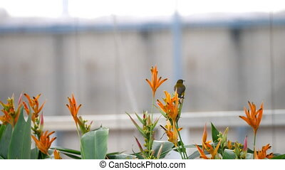 Purple Sunbird on the bird paradise flower