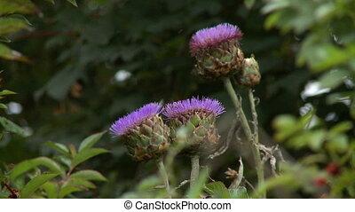 Steady, medium close up shot of purple thistle flowers.