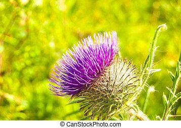 Purple thistle in green meadow