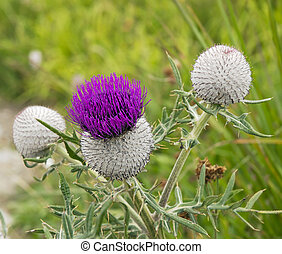 Purple thistle on a green meadow.