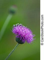 Thistle wildflowers - Purple Thistle wildflowers on green...
