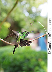 Purple-throated Carib hummingbird landing on a branch