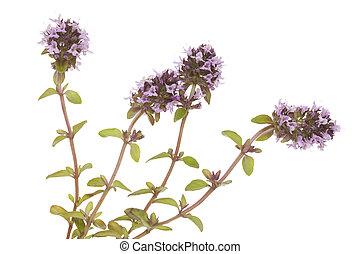 purple thyme - purple little thyme (Thymus pulegioides) on ...