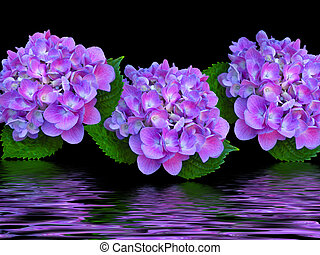 Purple Trio - Hydrangea blossom in flood effect.