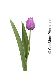 Purple tulip flower, isolated on white background. Spring Flower