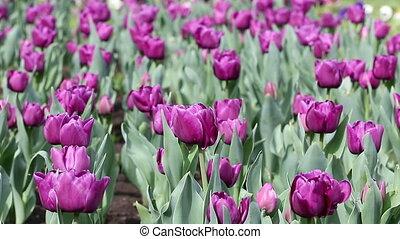 purple tulip flower nature