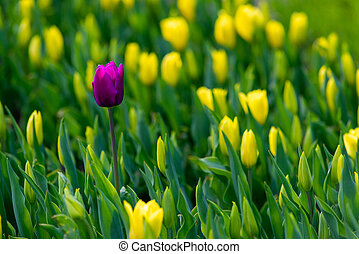 Purple tulip on a background of yellow tulips.