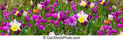 Purple tulips background.