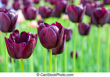 purple tulips close up, spring background