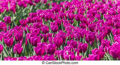 Purple tulips field