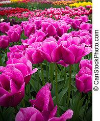 Purple tulips in field