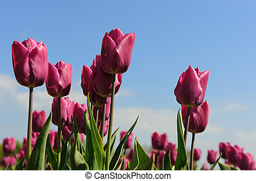 Purple tulips in Holland