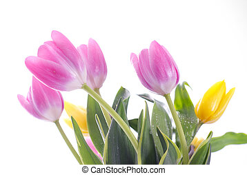 purple tulips isolated on white
