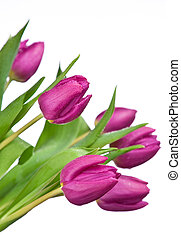 purple tulips on a white background