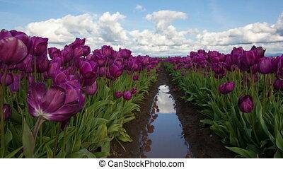 Purple Tulips Spring Season 1080p - Purple Tulips in Spring...