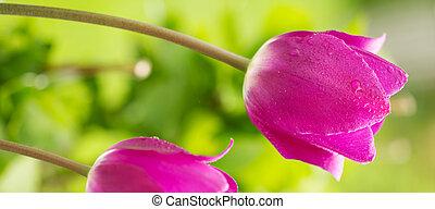 Purple tulips.