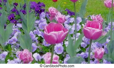Purple tulips swaying in the wind.Purple tulips swaying in...