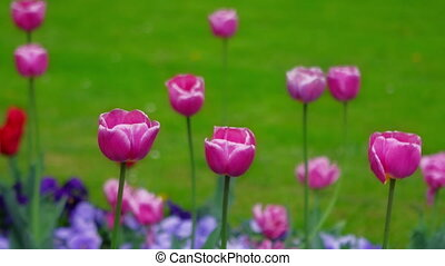 Purple tulips swaying in the wind.Purple tulips swaying in...