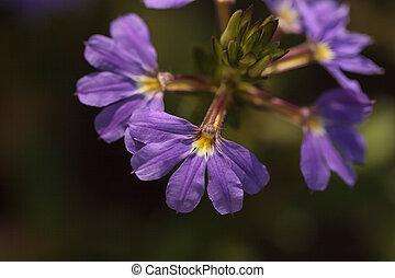Purple verbena flower