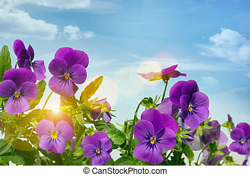 Purple violets against a sky background