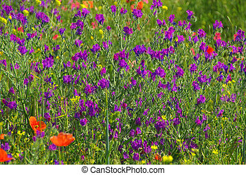 Purple Vipers Bugloss 01