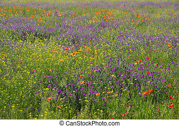 Purple Vipers Bugloss 06
