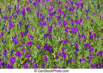 Purple Vipers Bugloss 08