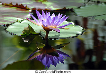 Purple Water Lilie - A single purple water lilie with a...