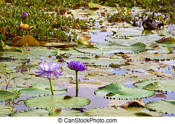 Purple Water Lilies In A Pond
