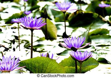 Purple Water Lilies - Purple water lilies in the wild.
