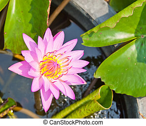 Purple water lilly on water background with leaves.