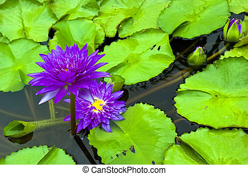 Purple water lily and leaf in pond