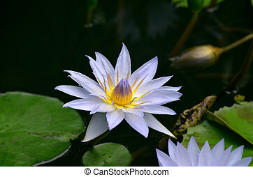 Purple Water Lily Blooming in a Water Garden