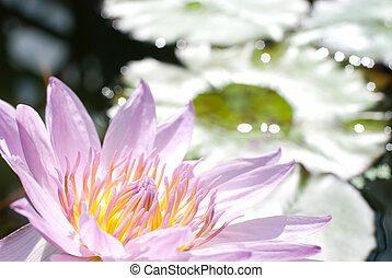 Purple water lily - Close up of purple water lily flower on ...