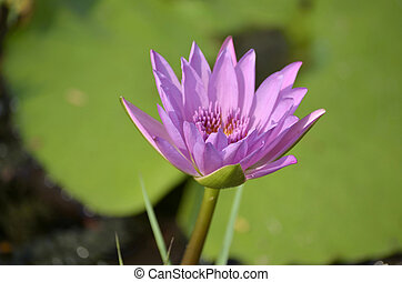 purple water lily in nature