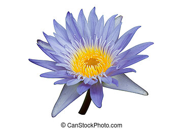 Purple water lily isolated on white background with clipping path
