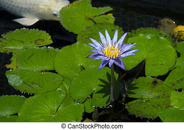 Purple water lily with koi fish