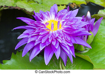 Purple waterlily named King of Siam or Chalong Kwan in the...
