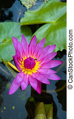 purple waterlily or lotus flower.