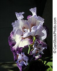 purple white Iris bloom